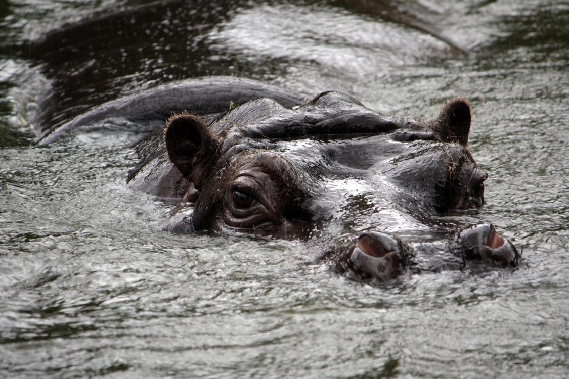 nijlpaard2